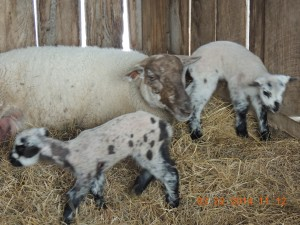 Spring Lambs on Walnut Ridge